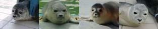 Heuler in der Seehundstation Norddeich